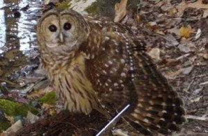 barred_owl