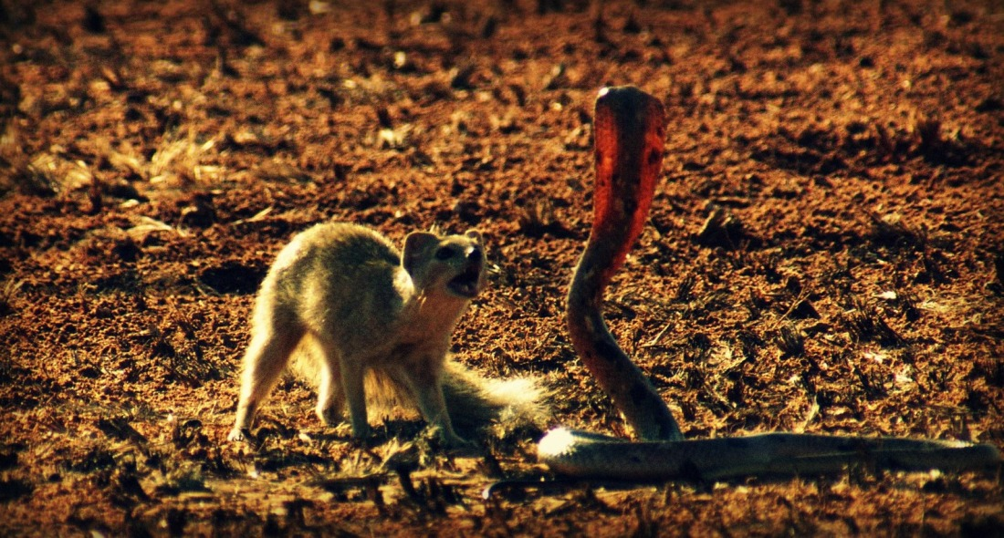 mongoose and snake